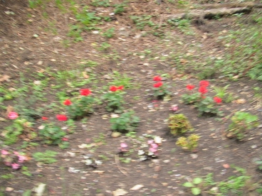 pelargonium bank at West Dulwich