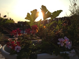 an edible window box at dawn. Courgette, gherkins, pelargonium and lavender salute the sun.