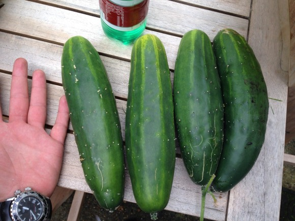cucumbers grown in the new garden